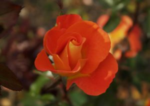 Rose, Rosen, Rosa, Jewel Orange