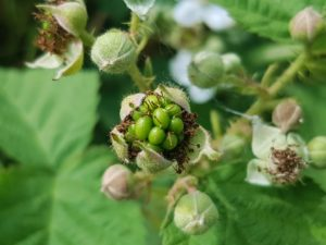 Brombeeren, Brombeere, Beeren, Beere, Früchte, functional food, superfood, Obst, fruits, fruit